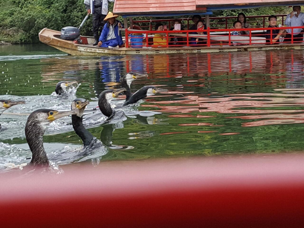 鮎を求めて競ってダッシュする鵜たち 撮影・たかのぶ