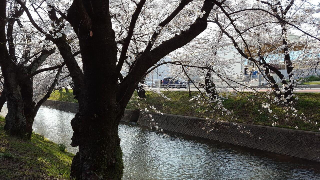 桜の名所である五条川堤