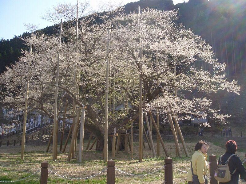 奇跡の再生を遂げた根尾谷の淡墨桜